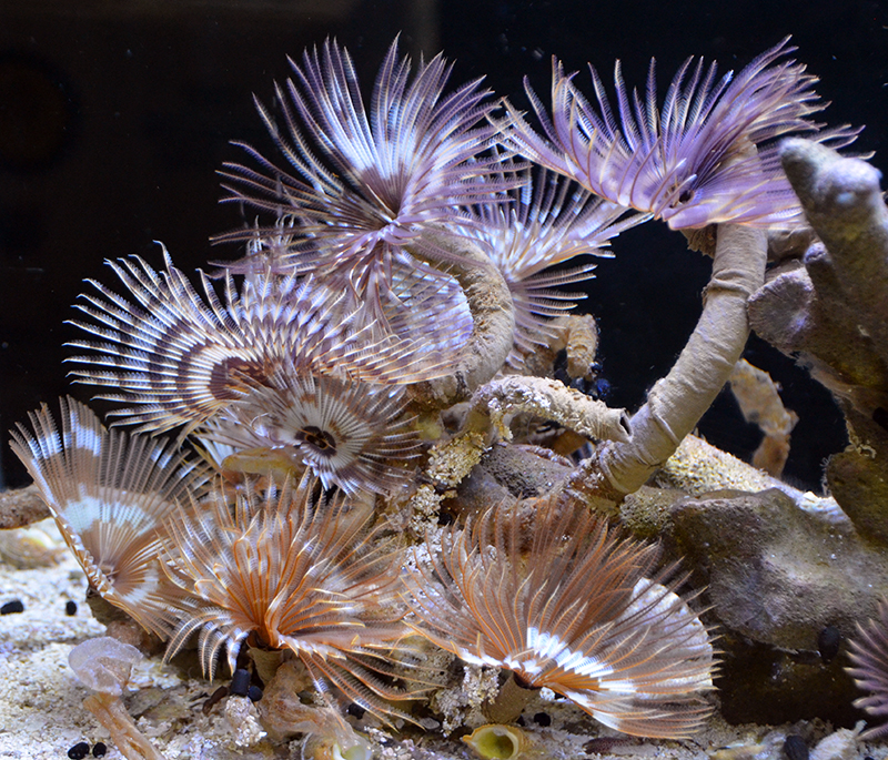 Feather Duster Worm Baby Something Fishy...