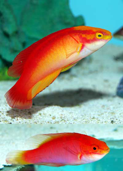 Something Fishy Aquarium Livestock Fish Flame Fairy Wrasse