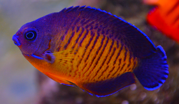 Something Fishy :: Aquarium Livestock :: Fish :: Coral ...