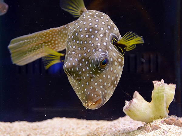 Something fishy aquarium livestock fish stars for Puffer fish price