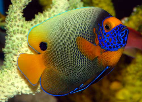 Something fishy aquarium livestock fish blue face for Fish compatible with angelfish