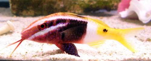 Something Fishy Aquarium Livestock Fish Bicolor