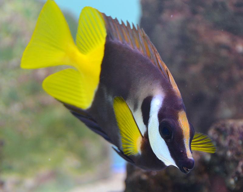 something fishy aquarium livestock fish fiji bicolor foxface
