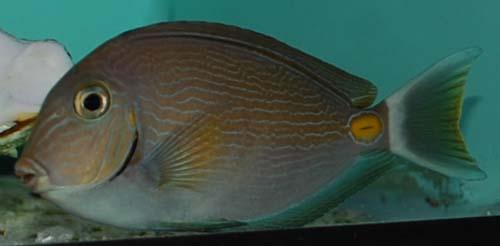 Something fishy aquarium livestock fish monrovia tang for Lrs fish food