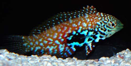Something Fishy Aquarium Livestock Fish Blue Star
