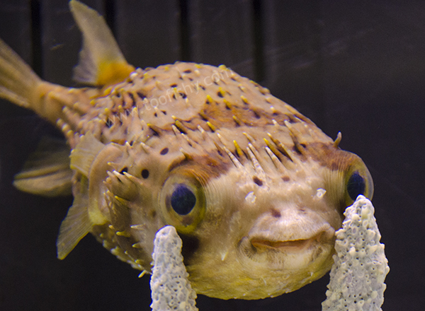 Something fishy aquarium livestock fish porcupine for Porcupine puffer fish