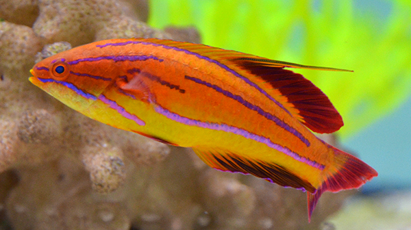 Redtail Flasher Wrasse