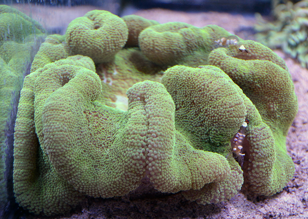 Green Carpet Anemone XL