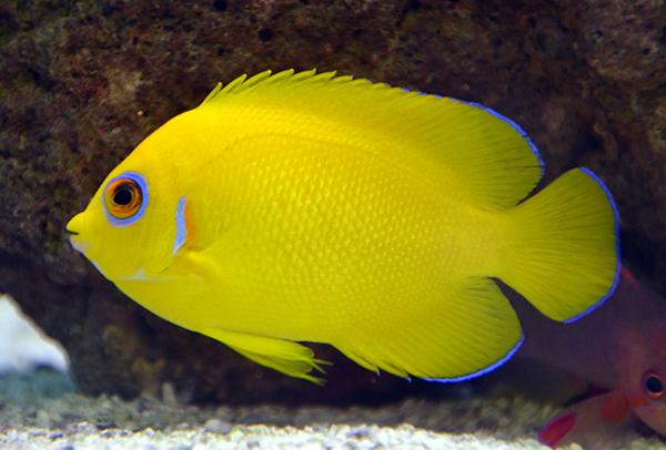 Something Fishy Aquarium Livestock Fish Lemon