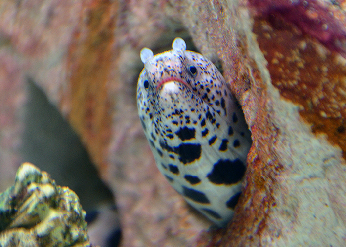 Black Spotted Eel