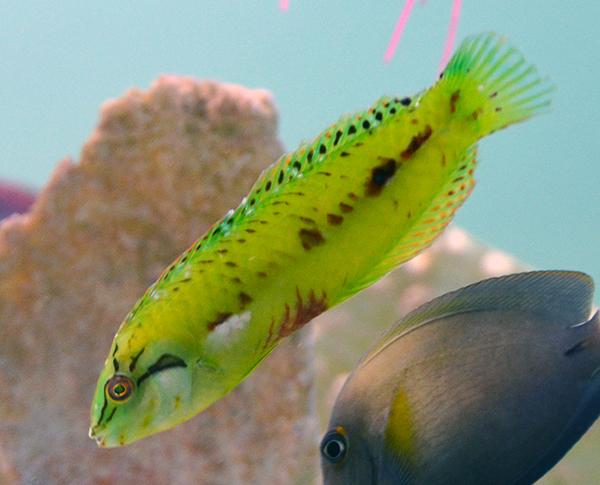 something fishy    aquarium livestock    fish    seagrass razorfish green surge wrasse