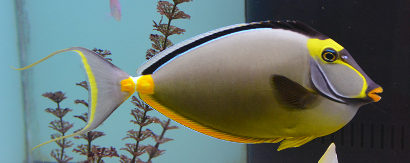 Naso Tang w/ Streamers, Hawaii