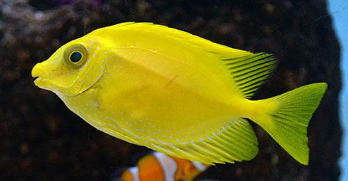 Yellow Rabbitfish