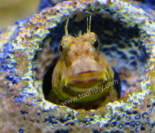 Algae Blenny - Jumbo