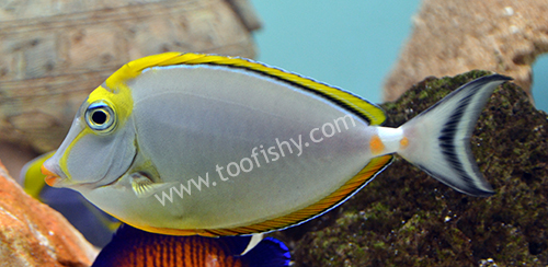 Blonde Naso Tang, Large