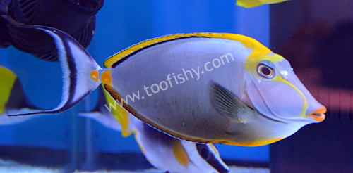 Blonde Naso Tang, Large with Streamers