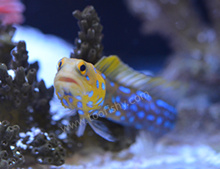 Bluespot Jawfish