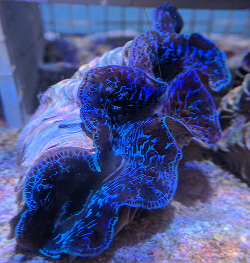 "Tahitian Tridacna maxima Clam 5"""