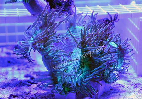 Something fishy aquarium livestock corals frags for Aquarium elegance