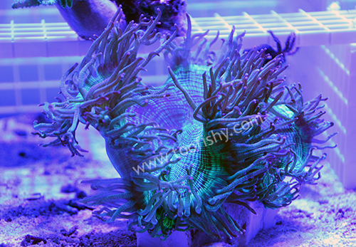 Elegance Coral