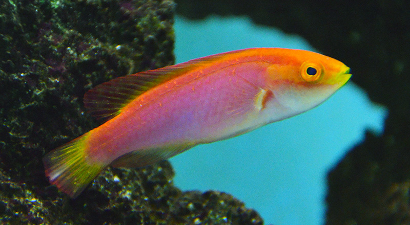 Flame Fairy Wrasse, Female (Hawaii)