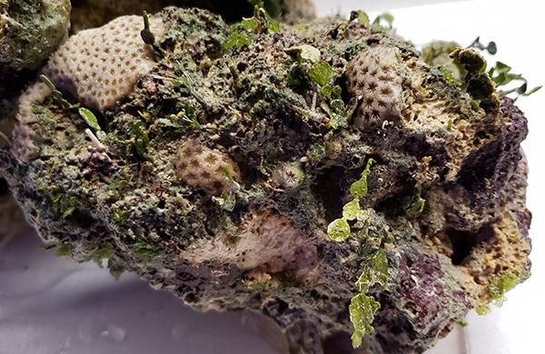 Florida Aquacultured Live Plant Rock *CURED*