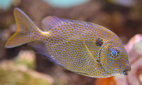 Gold Spot Rabbitfish