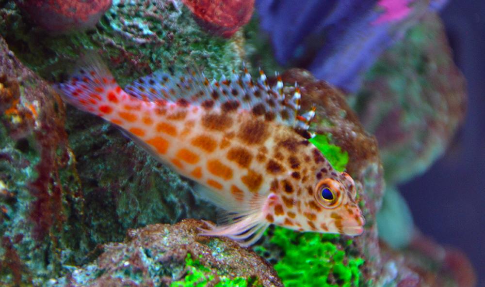 Pixy Coral Hawkfish