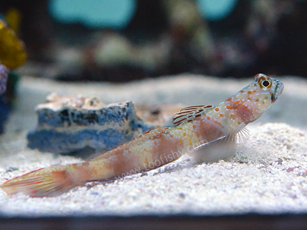 Metallic Shrimp Goby