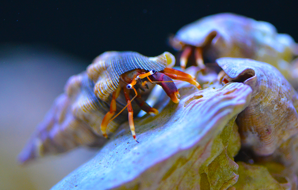 Orange Claw Hermit Crab