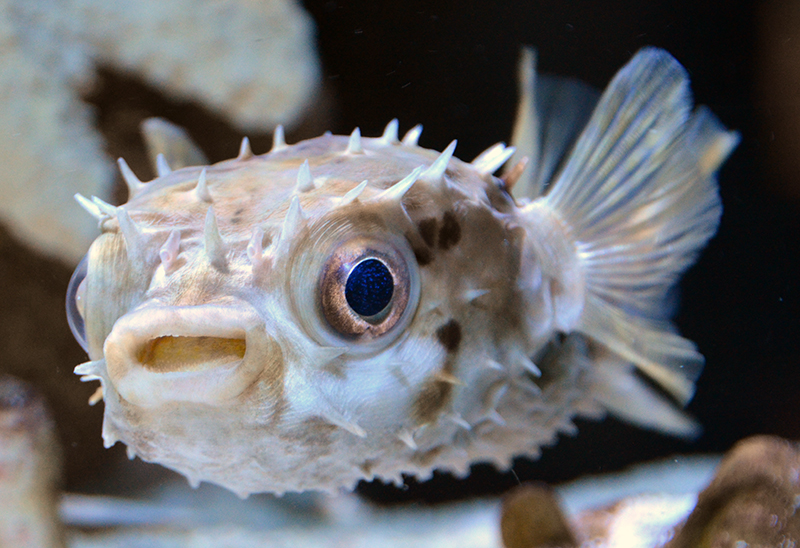 Something fishy aquarium livestock fish porcupine for Puffer fish price