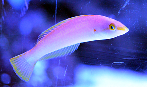 Pink Pencil Wrasse (Female)