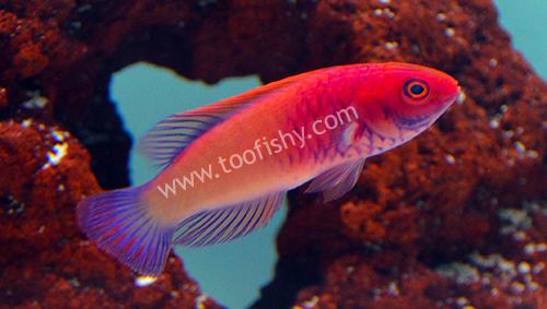Red Velvet Rosy-Scales Fairy Wrasse
