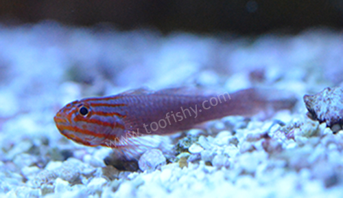 Red Lined Trimma Goby
