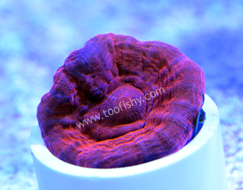 Red Scolymia