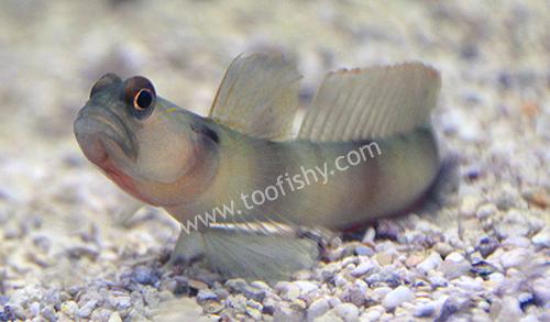 Giant Shrimp Goby