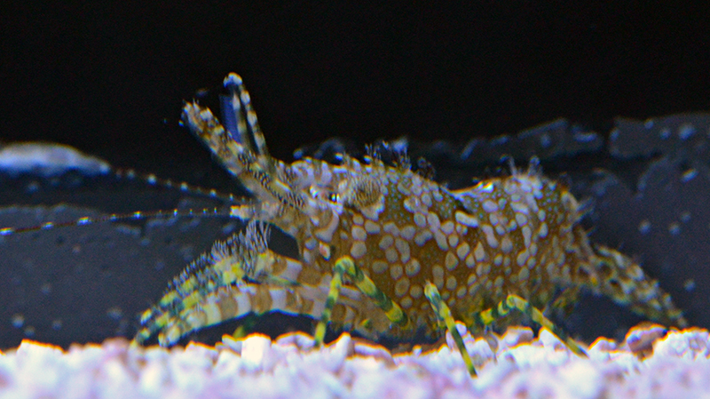 Saron Shrimp (Not Reef Safe)