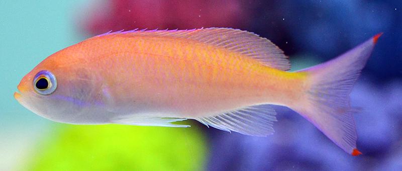 Tri-Color Anthias