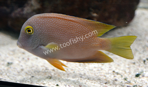 Spotted Yellow-Eye Bristletooth Tang, Large