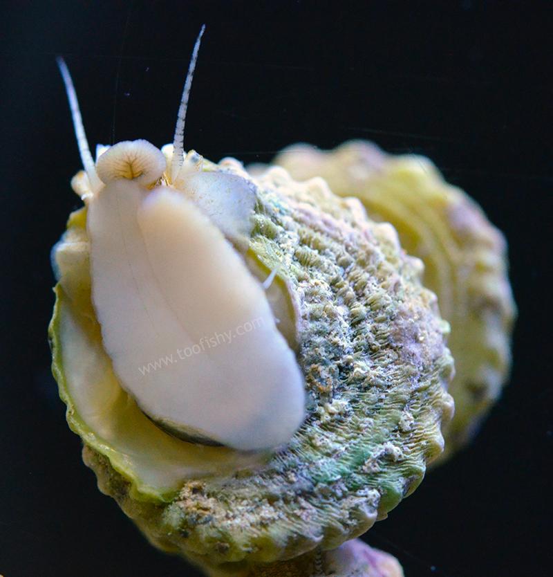 Astrea Snail - 25 lot