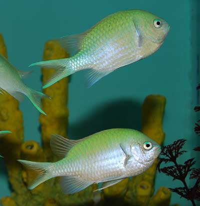 Green Chromis - XL
