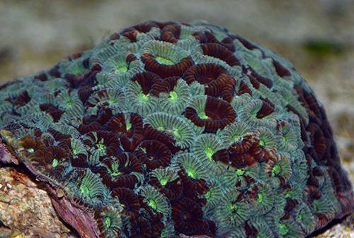 Green Favia