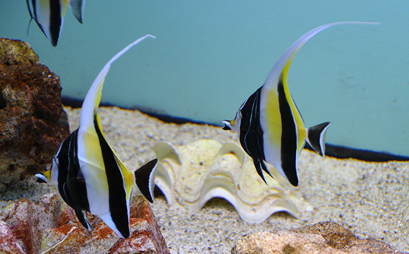 Moorish Idol, Hawaiian
