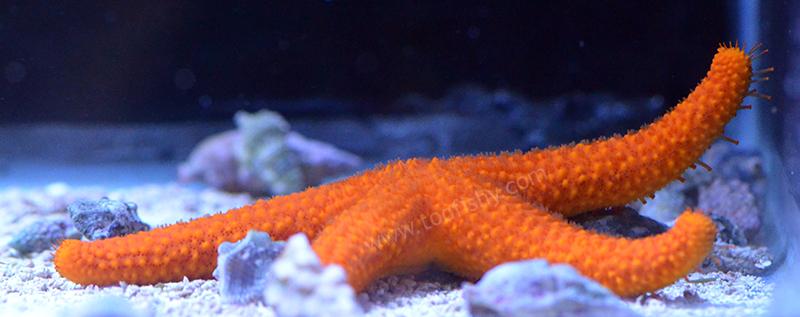 Orange Echinaster Starfish