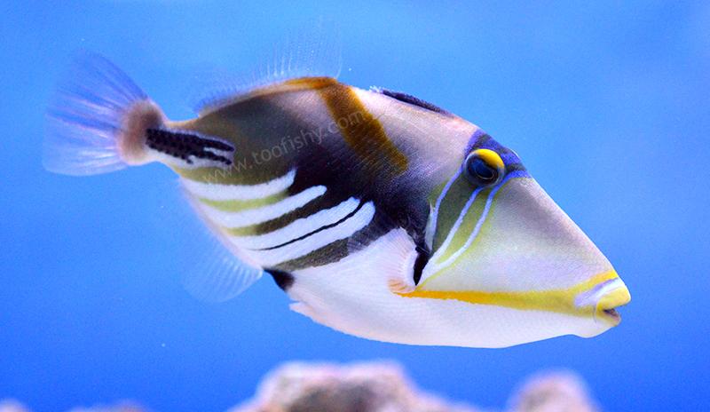 Something Fishy Aquarium Livestock Fish Picasso