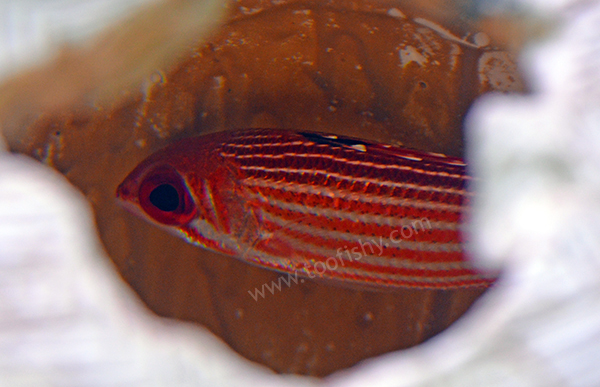 Reef Squirrelfish, Caribbean