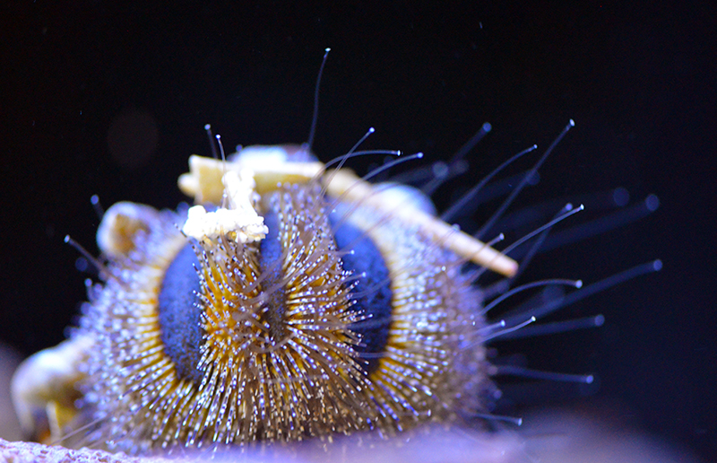 Royal Tuxedo Urchin
