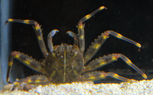Sally Litefoot Crab