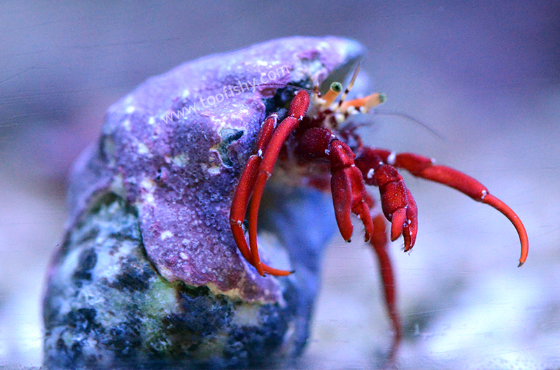 Scarlet Hermit Crab - Each