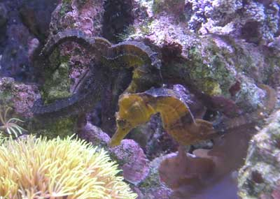 Seahorse Hippocampus erectus - Captive bred